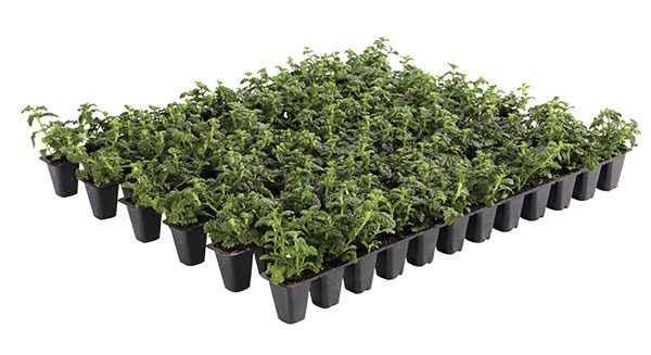 The strips are spaced and pinched during production to create the highest quality plants possible