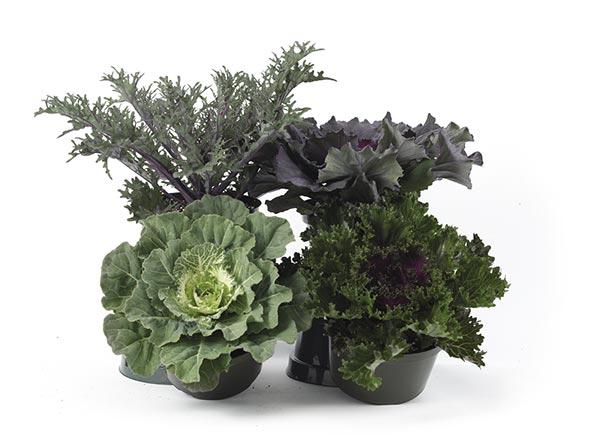 Second Season Kale