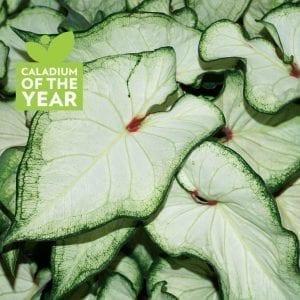 Caladium - Heart to Heart™ White Wonder