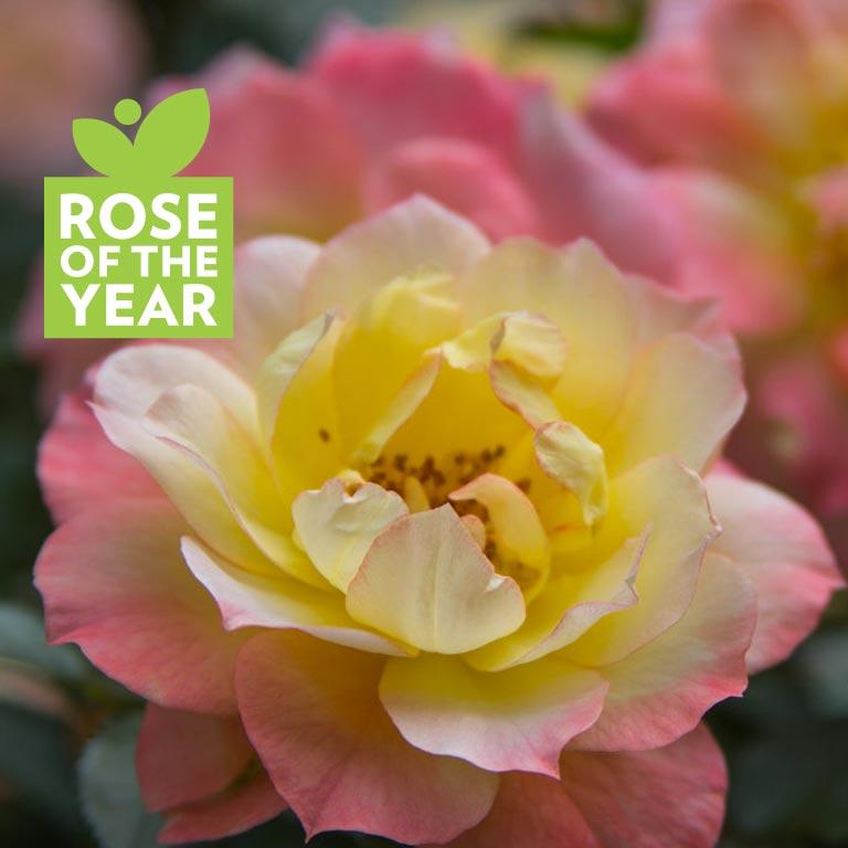 Rosa - Oso Easy® Italian Ice