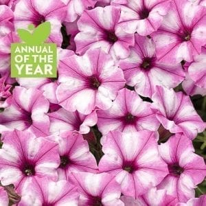 Petunia - Supertunia® Mini Vista Pink Star